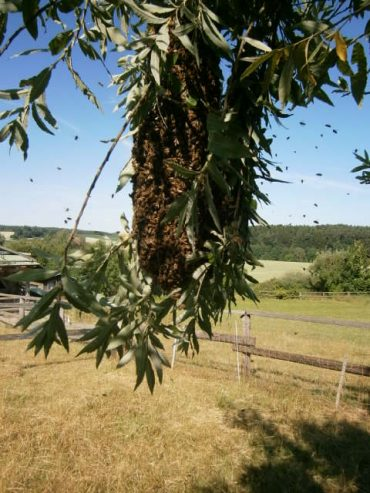 HONIG BESTELLEN; Ein Bienenschwarm hängt an den Zweigen einer Weide vor blauem Himmel und einer wunderschönen Aussicht auf die Feldflur und Wald.