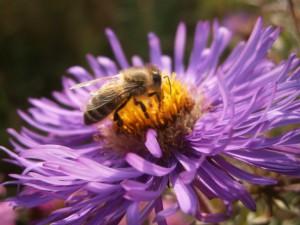 WoW! Was für ein Farbschauspiel: Goldene Biene auf einem Farbspektakel aus Goldgelb und Lila