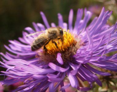 Eine nette kleine Biene auf einer lila Asternblüte.