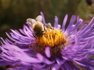 Ein weiterer emsig beschäftigter Asterngast, eine unserer Honigbienen