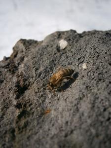 Die erste Biene des Jahres rastet und wärmt sich auf einem Lavastein.