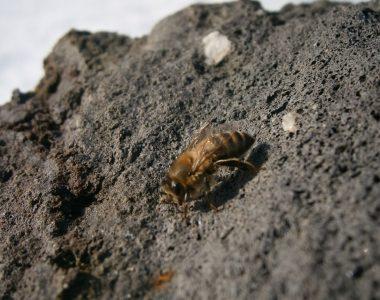 Die mutige Biene sitzt auf dem sonnengewärmten Lavastein und genießt zum ersten Mal die Sonne nach dem langen und zermürbendem Winter in Deutschland.