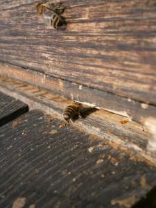 Eine weitere Biene gibt ein Duftsignal an die anderen Bienen, damit sie zurück finden. Man staunt immer wieder,wie rücksichtsvoll und intelligent sich die Bienen verhalten.