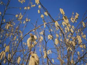 Die Blütenkätzchen des Haselnussstrauches liefern meist den ersten Pollen des Jahres