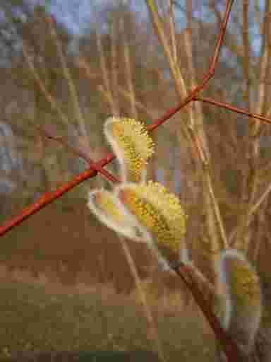 Die gelben Palmkätzchen ergeben auf den rötlichen Zweigen der Frühlingsweiden eine farbenfrohes Bild.