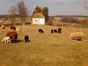 Die Pestkapelle in Oberlauterbach. Davor weiße, braune und schwarze Weideschafe mit jungen Lämmern vom Bienenhof bzw. Honig-Imkerei Oswald.