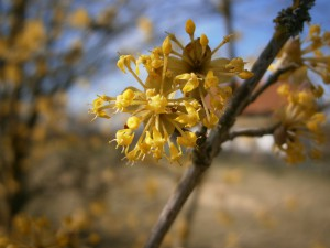 Die phänomenale Blüte der Kornellkirsche