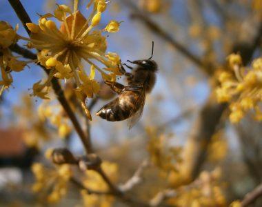 Eine Frühjahrsbiene ruht sich auf einer Kornellkirschenblüte aus.