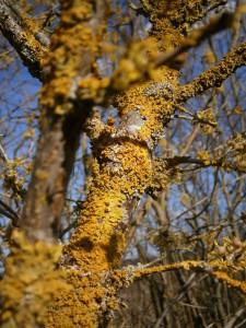 Das Holz der Kornellkirsche