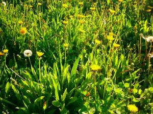 Bienenfreundliche Mähweide mit großem Kräuterreichtum, die ganzjährig von unseren eigenen Bienen beflogen wird