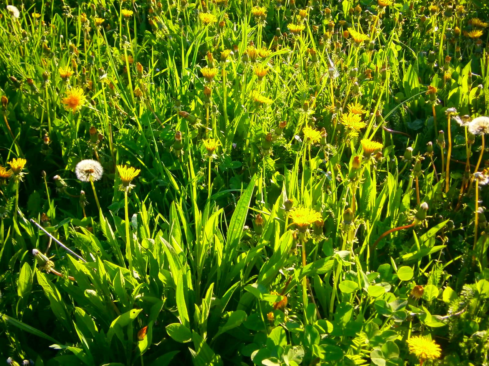 Eine Bienenwiese im Frühling präsentiert sich in frischem Grün und Gelb.