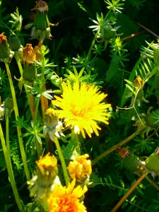 Löwenzahnhonig schmeckt und wirkt intensiver als jeder andere Honig.