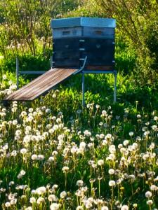 Um Löwenzahnhonig ernten zu können, ist großes Geschick bei der Völkerführung und vor allem Schnelligkeit gefragt. Bereits im Februar oder März müssen die Bienenvölker vorbereitet werden