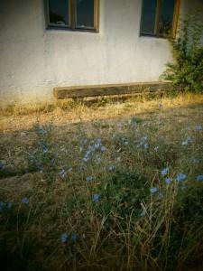 Die blauen Blüten der Wegwarte haben wieder zahlreiche Bienen angelockt. Sie besiedelt gerne stickstoffreiche Wegränder, die wenig begangen, und am besten nicht befahren werden. Daher der Tipp: Nicht alle Wegränder mähen, sonst erscheint die Wegwarte nicht. Wenn Sie einmal Fuß gefaßt hat, kommt sie immer wieder und begeistert uns und die Bienen durch Ihre azurblaue Farbigkeit.