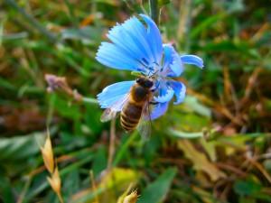 Schön gefärbte Biene der Apis mellifera hallertauensis auf blauer Wegwartenblüte