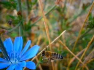 Unsere Biene beim Anflug auf die Wegwarte. Am hinteren Beinbar ist deutlich ein kleines Pollenpaket zu erkennen. Es weist einen blassbeigen Farbton auf, ähnlich wie Apfelblütenpollen