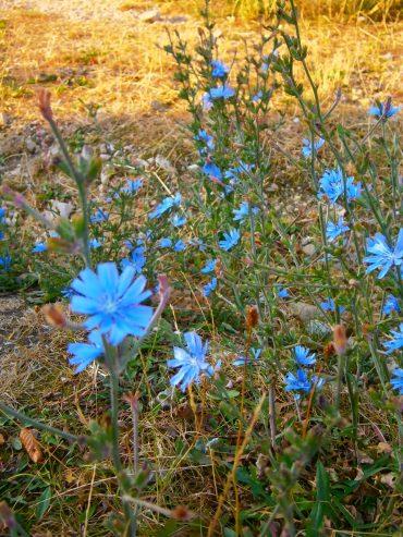 Deutsche Blumen am Wegesrand. Die Wegwarte hat das schönste Blau aller Blumen.