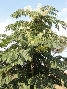 Der kleine Baum wächst sehr schnell heran und bildet viele Stockausschläge