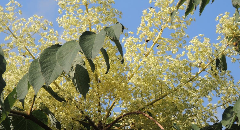 Honigbienen befliegen Arelienblüten. Blütenhonig jetzt kaufen bei bio-honig.com.