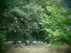 Der Bienenstand der Imkerei Oswald (bio-honig.com) ist von einer wilden Brombeerhecke vor Wind geschützt.