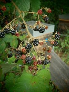 In der Umgebung der Bienenvölker kommt es zu einem großartigen Fruchtansatz