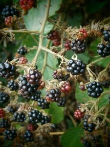 """Der Gesundheitswert des blauen Farbstoffes in den Brombeerfrüchten macht diese zu einem unverzichtbaren """"Superfood""""."""