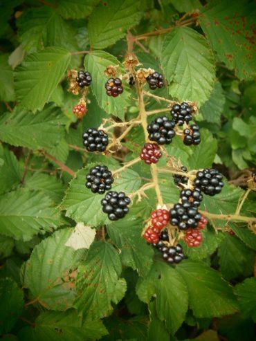 Die leckeren Früchte der Waldbrombeere und die gründen Blätter des Brombeerstrauches.