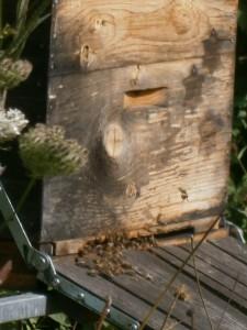 Unsere Bienen hatten einen schönen und besonders warmen Sommer. Jetzt erfreuen sie sich an ihrem harmonischen Nest aus kunstvollen Waben und leckerem Honig.