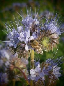 Die Bienen nutzen diese letzte Gelegenheit, um noch einmal die Reserven ein letztes Mal aufzufüllen, bevor es endgültig zu kalt zum Fliegen wird, sobald es Tageshöchsttemperaturen unter 10°Celsius bekommt.
