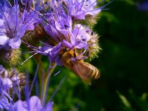 Noch eine Biene beim Saugen von Phacelia-Blütennektar
