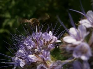 Seltenes Bild von Biene im Anflug auf die Blüte. Die Flügelbewegung ist deutlich erkennbar.