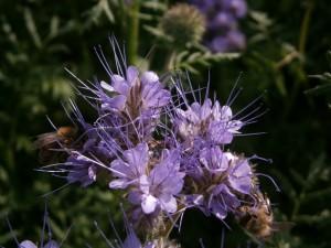 Hier tummeln sich gleich zwei Bienen gleichzeitig auf einer Blüte. Phacelia wird von den noch übriggebliebenen Sommerbienen gern besucht.