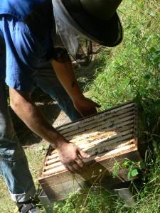 Ein schwerer Honigraum wiegt ca. 20-25 kg. Die Bienen sind erleichtert, wenn Sie den Honig nicht mehr wärmen müssen, und die Wärme nun näher zum Brutnest und zum neu eingetragenen Nektar lenken können.