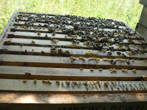 """Frei nach STEINER: """"Wer einen Bienenstock sieht, sollte fast in gehobener Stimmung sagen: Über den Umweg der Bienen und des Honigs zieht das ganze Universum hinein in den Menschen"""". Es Bedarf Flugleistungen in der Größenordnung einer Erdumrundung allein für ein Glas Honig."""