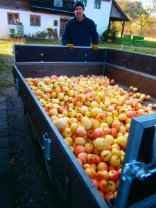 """BIO Äpfel der Sorte """"Wiltshire"""" eine alte bayerische Hauptmostsorte"""