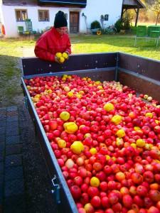 Gut baumgereifte Äpfel der hervorragenden Mostobstsorte Maunzen (rot) mit einigen Quitten (gelb)