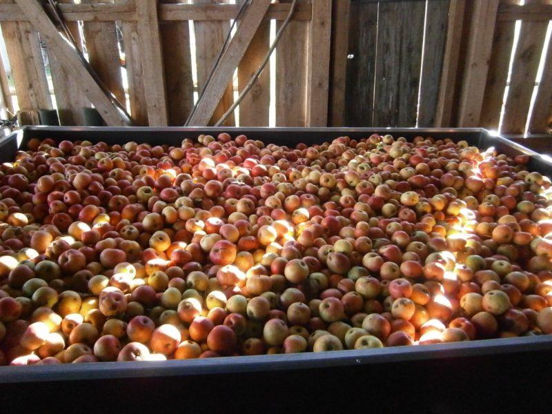 Schöne rotbackige Bioäpfel vom Bienenhof und Bioimkerei Oswald füllen einen Anhänger und sind bereit zur Vermostung. Der Anhänger befindet sich in einer Remise in traditionellen Holzständerbau.