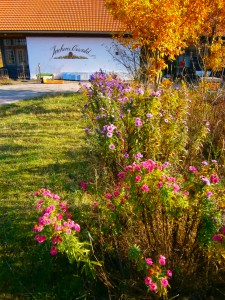 Wärend der Apfelernte blühen immer die schönen Astern, eine unverzichtbare Bienenpflanze für den Oktober.