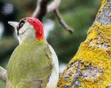 Grünspecht mit grünem Federkleid, der schönste Vogel Deutschlands, im Bienenwald.
