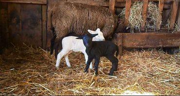Zwei neugeborene Lämmer, einen Tag alt, eines weiß, das andere schwarz, mit ihrer Mutter im Stall vor der Heuraufe.