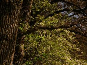 Kirschblüte von der Wald- bzw. Vogelkirsche am Waldsaum mit alten Eichen, ein intaktes Biotop und eine Pflanzengesellschaft, die typisch für das Isar-Hügelland ist.