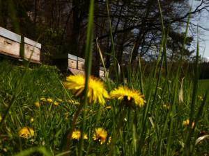 Wohl jenen Honigbienenvölkern, in deren Umkreis Löwenzahn noch blühen darf. Löwenzahn wird seit Jahrzehnten von der staatlichen Landwirtschaftsberatung zu Unrecht als Platzräuber im Grünland verunglimpft, was ich selbst bezeugen kann, da ich zwischen 1994 und 1996 eine landwirtschaftliche Ausbildung als Quereinsteiger absolviert habe.