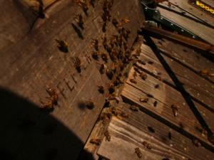 Eines unserer fleißigen Bienenvölker im Trachtflug auf den Löwenzahn. Imkerei Oswald bio-honig.com