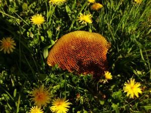 Honigwabe bzw. Pollenwabe mit Löwenzahnpollen und frisch eingetragenem Löwenzahnnektar