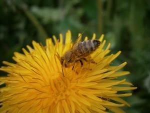 Eine Honigbiene auf einer Löwenzahnblüte beim Nektartrinken