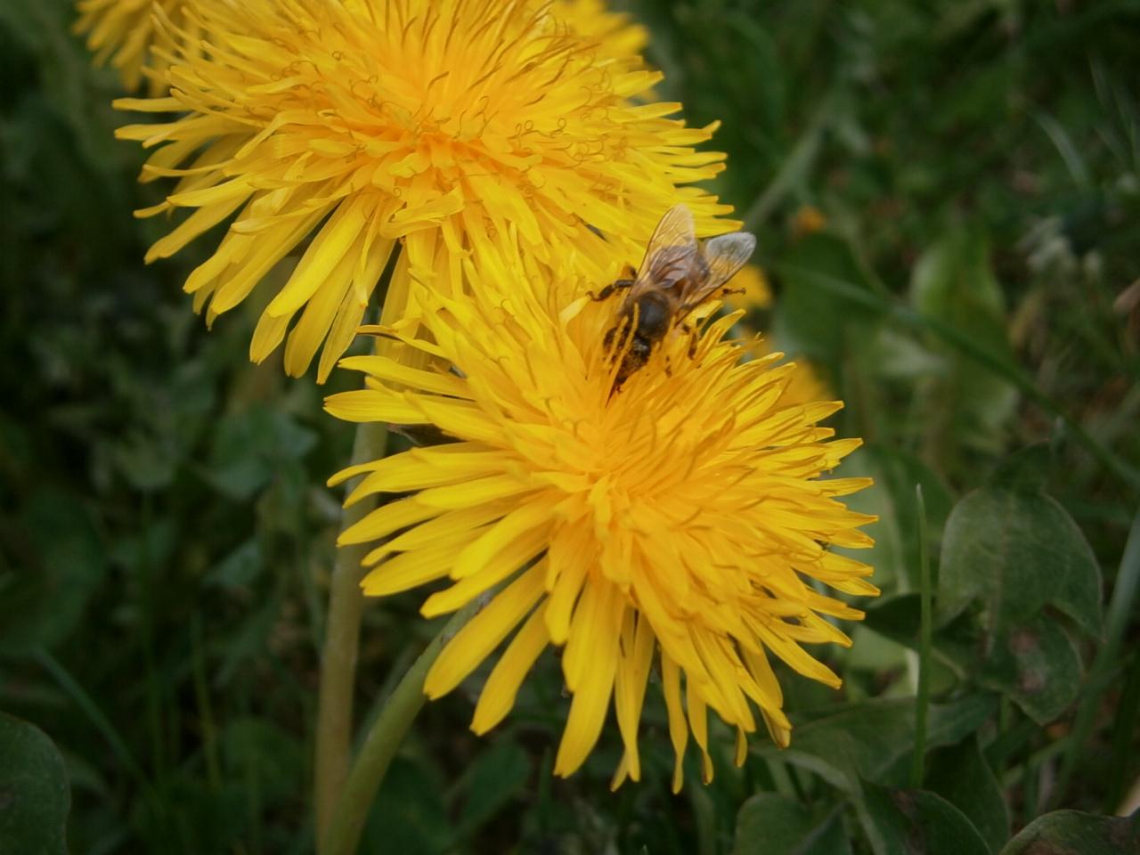 Zwei gelbe Taraxacum Blüten und eine Nektarsammlerin, die Nektar für leckeren Biohonig sammelt.