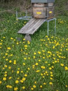 Bienenvolk inmitten von blühendem Löwenzahn im Bienengarten der Imkerei Oswald April 2016