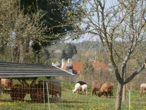 """Die Schafe der Imkerei weiden die Bienenkräuterweide zwischen den Streuobstbäumen ab. Für ein intaktes Biotop """"Streuobstwiese"""" ist eine regelmäßige Schafbeweidung unerläßlich"""