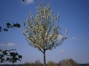 Die Birnbäume haben immer einen aufrechteren Wuchs als dies bei den Apfelbäumen der Fall ist. Hier wird auch nicht mehr geschnitten, damit der Baum ungebremst Blühen kann, zum Wohle der Bienen