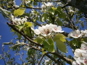 """Die prachtvolle Blüte der Kirchensaller Mostbirne mit einer unserer gestreiften """"girls"""" beim Pollensammeln und Nektar trinken. Den Baum haben wir 2003 an der Einfahrt zur Imkerei gepflanzt."""